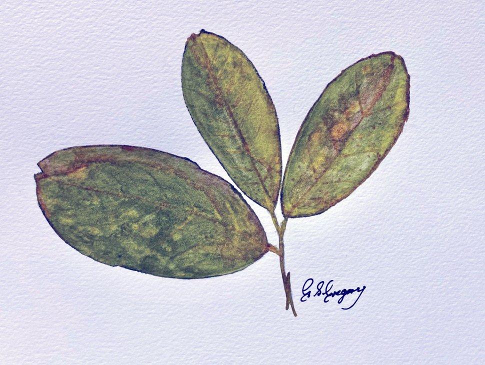 gregory-walnut-leaf